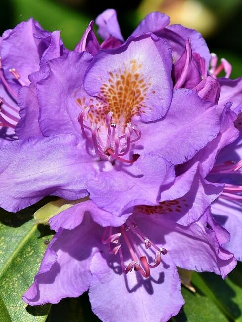 close up rhododendron 3