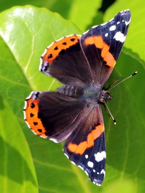 Laurier close up en vlinder