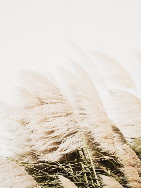 Pampasgras in de wind
