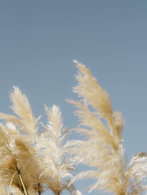 Licht beige pampasgras in de zon