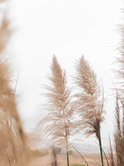 Close-up pampasgras snoeien met bewolkte achtergrond