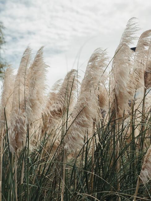 Pampasgras in veld in de wind