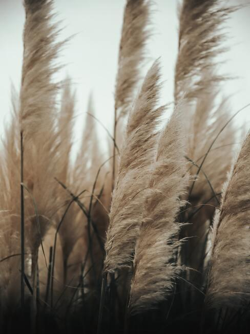 Pampasgras in veld
