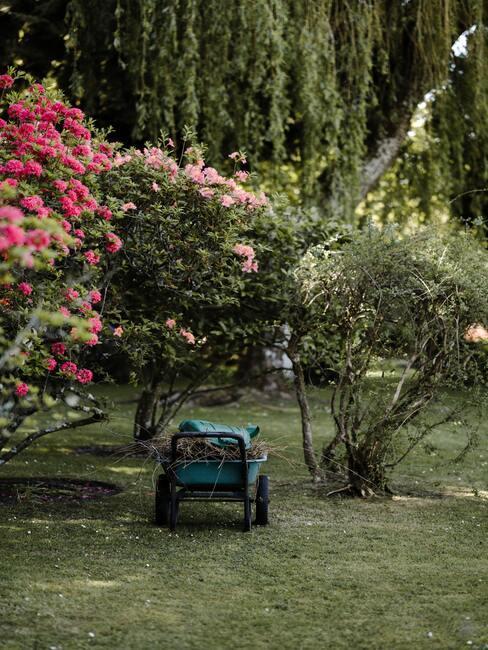 Close-up rododendrons en andere struiken met roze bloemen in tuin met kar vol groenafval op de voorgrond