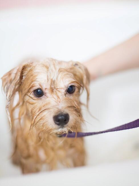 Kleine hond wordt gewassen