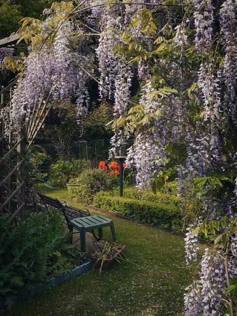 blauwe regen snoeien, tuin met zitbank
