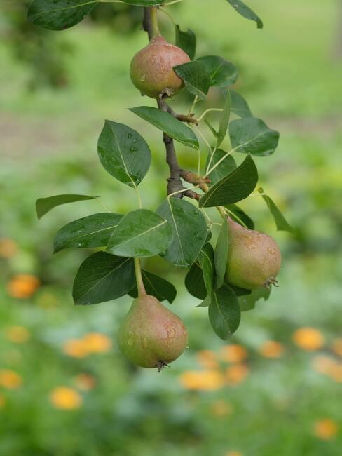 Perenfruit in een fruitboomgaard bij het huishouden