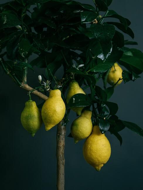 Een fruitboom in een sierpot