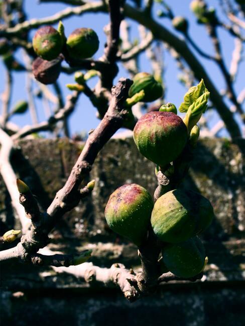 Vijgenfruit aan de boom in de zomer