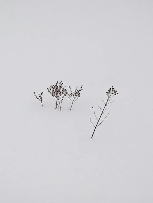 Verbena in winter