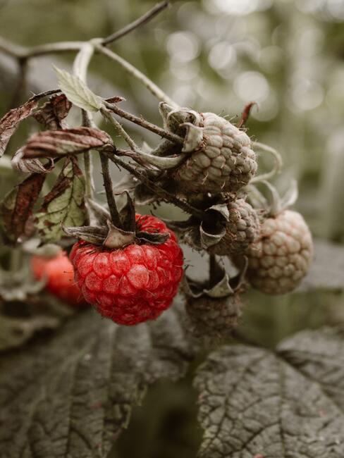 Frambozen-snoeien: een rode framboos aan een frambozenplant