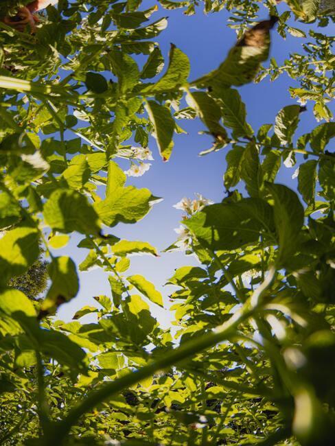 blaadjes van catalpa 2