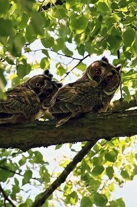 uilen in de leilinde boom