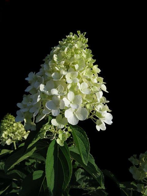 close up pluim hortensia 2