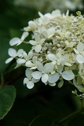 close up pluim hortensia 6