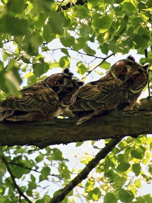 uilen in lelinde boom