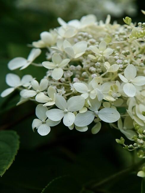 close up pluim hortensia in bloei 3