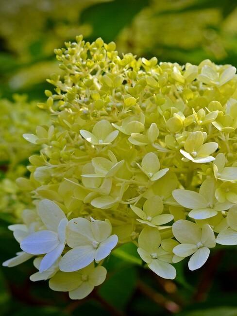 close up pluim hortensia in bloei 2