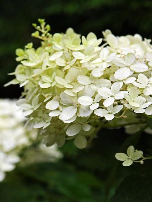 close up pluim hortensia in bloei