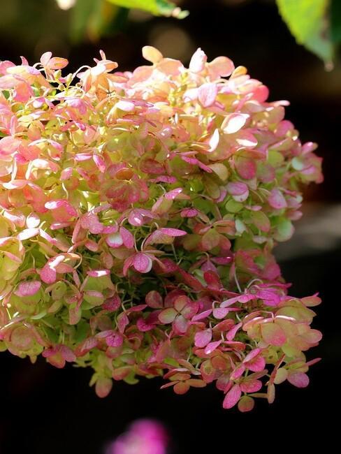 pluim hortensia close up roze 3