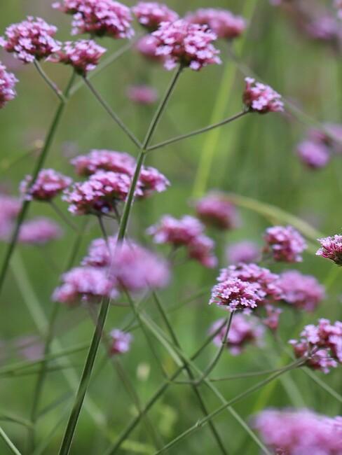 verbena close up meerdere bloemen