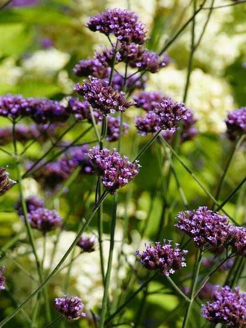 verbena bloemen close up
