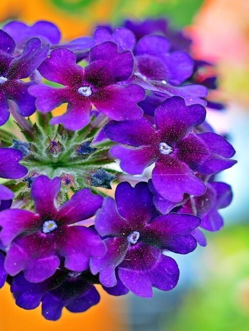prachtige close up verbena fel paars