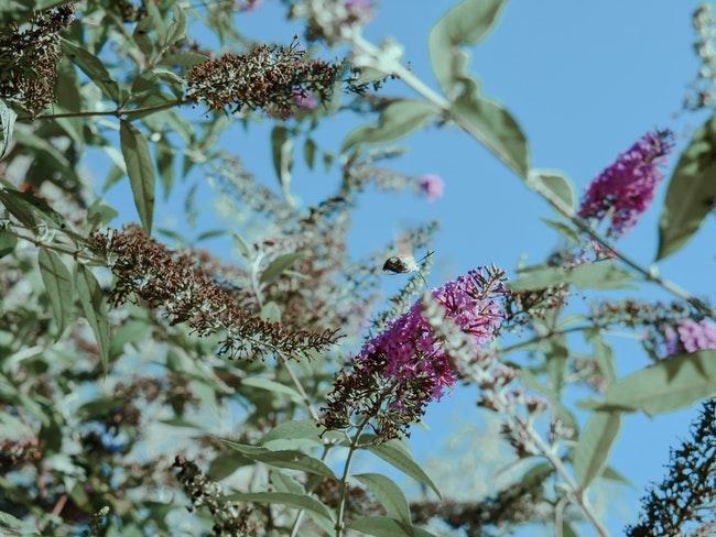vlinderstruik met paarse bloemen