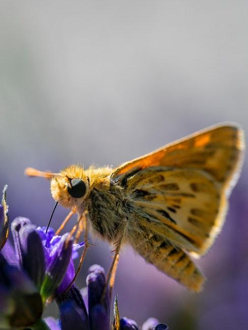 paarse vlinderstruik met gele vlinder