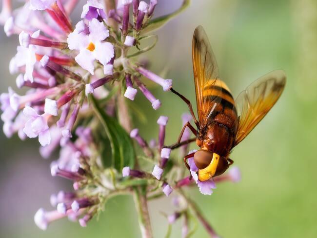 vlinderstruik in tuin