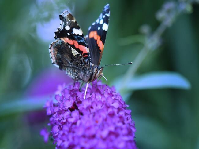 paarse vlinderstruik in tuin