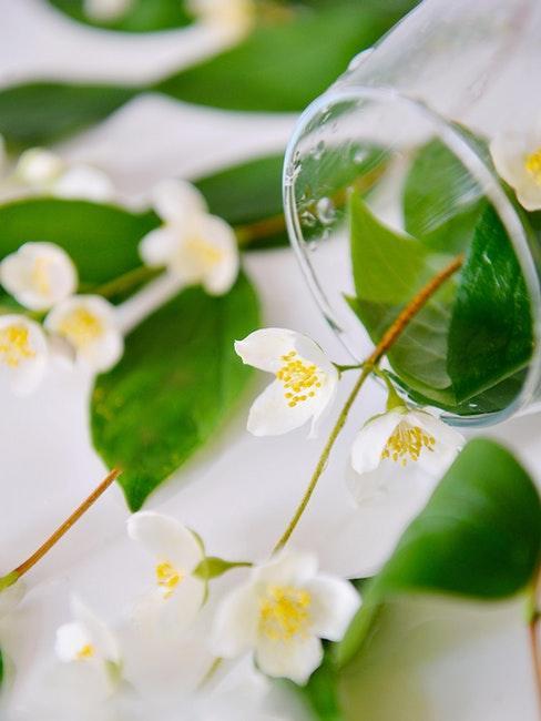 vers gesneden takken toscaanse jasmijn