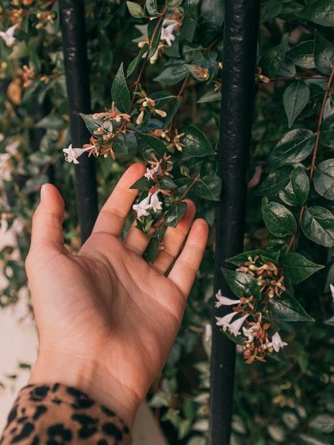 bloeiende struik