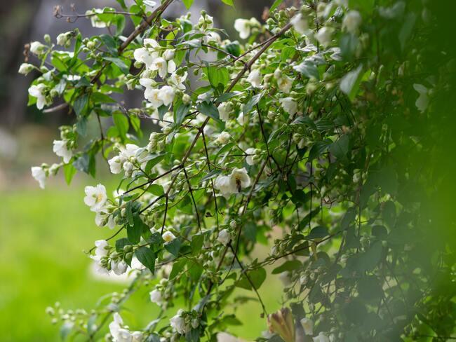 bloeiende klimplant