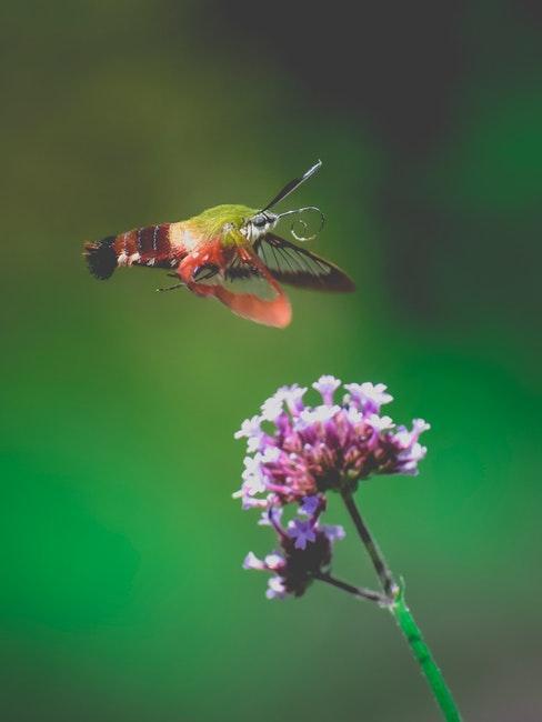 verbena plant met vlinder