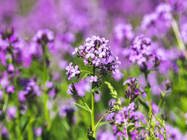 verbena : plantenverzorging in de lente en zomerperiode