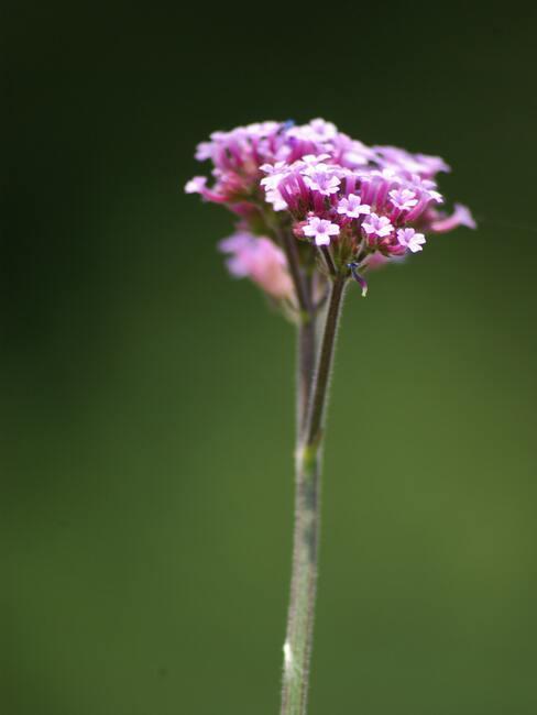 roze verbena bloem