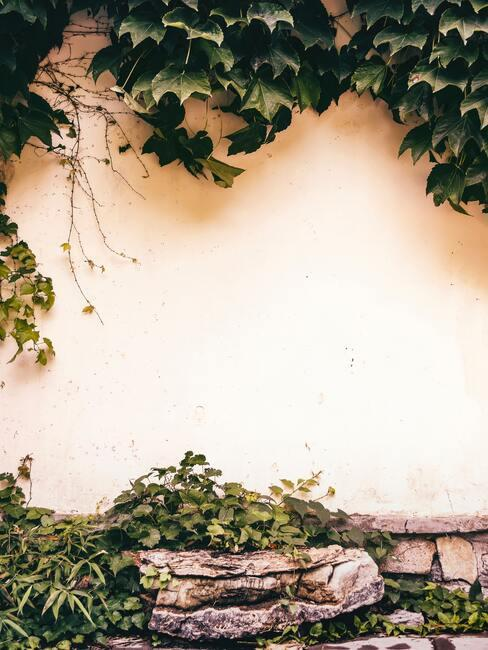 wilde wingerd: planten in de tuin bij het huis, lente, zon