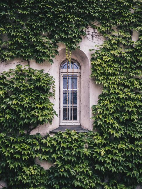 klimplanten op een muur met een raam