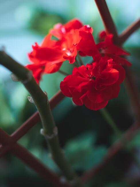 geranium macrorrhizum: plantenverzorging in de lente en zomerperiode
