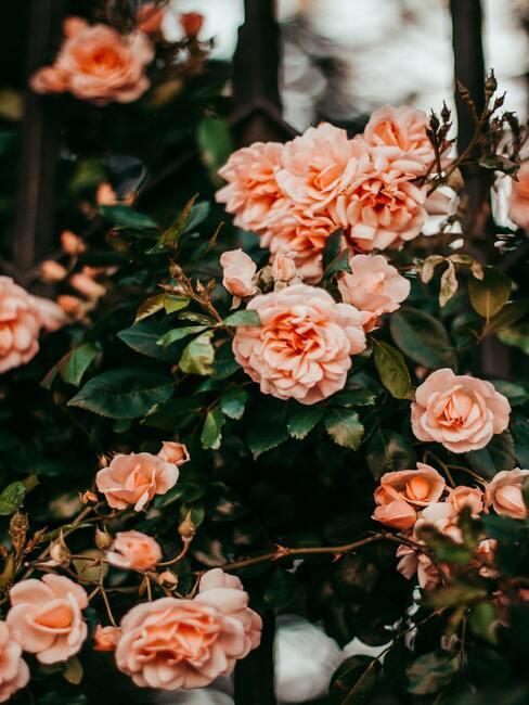 klimroos: plantenverzorging in de lente en zomerperiode