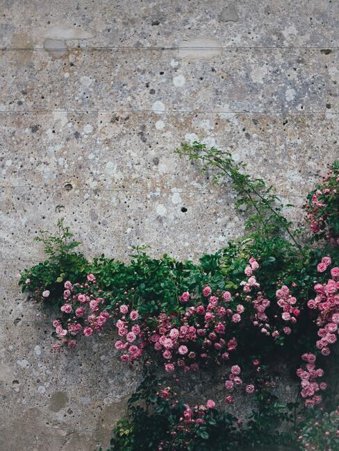 muur met roze klimroos