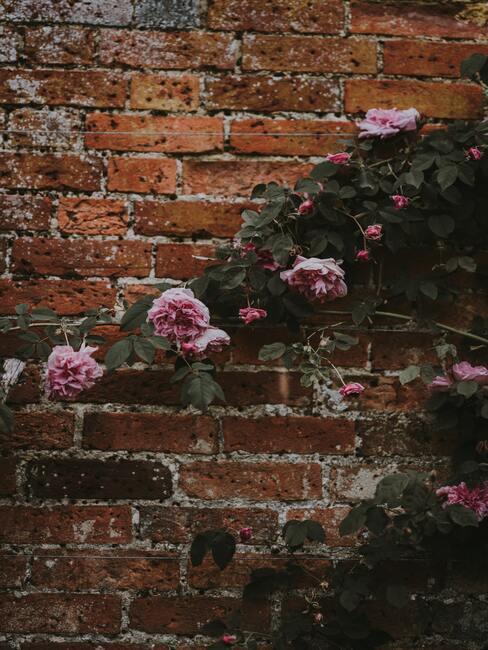 muur met klimrozen