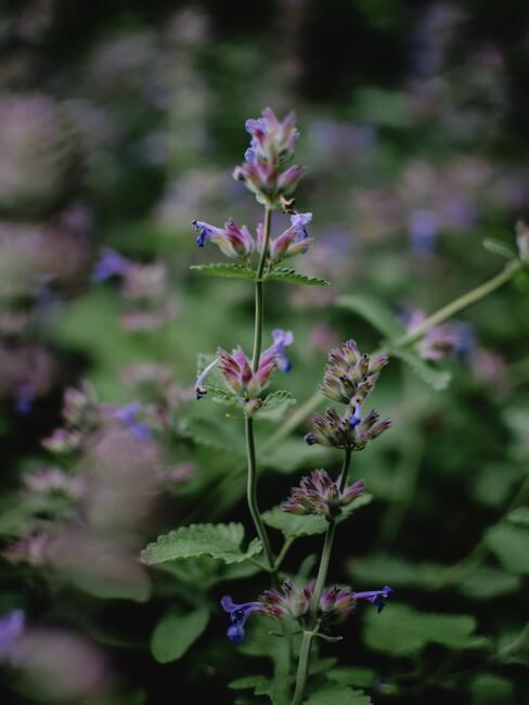 salvia nemorosa: bomen en plantenverzorging in de lente en zomerperiode