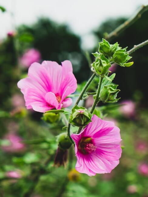 prachtig bloeiende lavatera en bloemen in het voorjaar in de tuin naast het huis