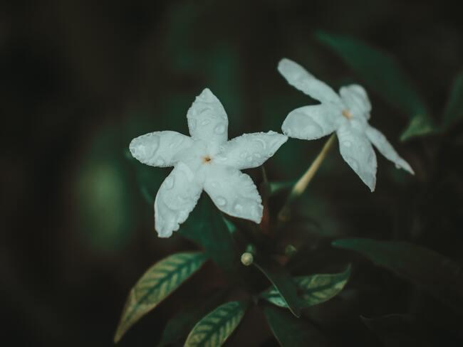 prachtig bloeiende winterjasmijn en bloemen in het voorjaar in de tuin naast het huis