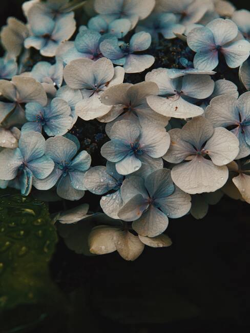 prachtig bloeiende Prunis Lusitanica bloemen in het voorjaar in de tuin naast het huis