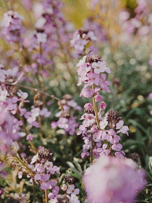 lavandula angustifolia: verzorging van planten in de tuin