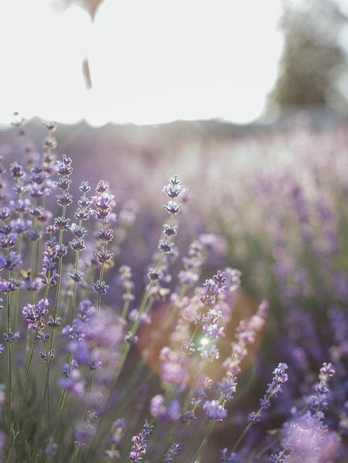 een veld vol met echte lavendel