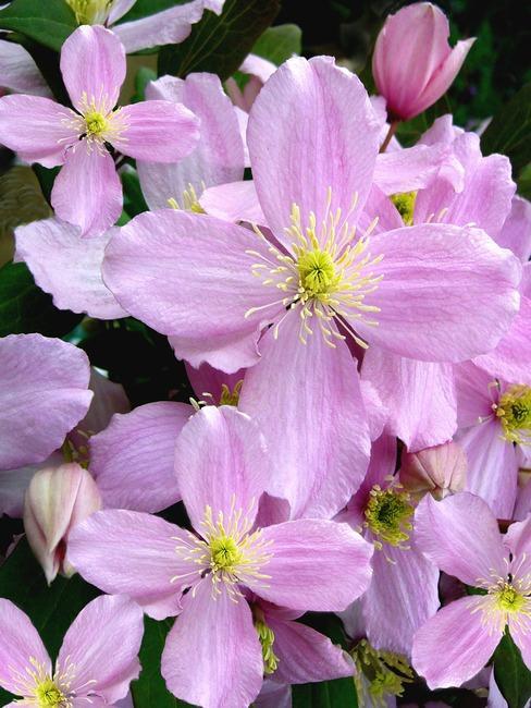 clematis montana: verzorging van planten in de tuin
